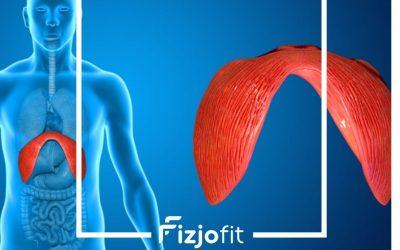 Przepona – jaką odgrywa rolę w rehabilitacji narządu ruchu ?